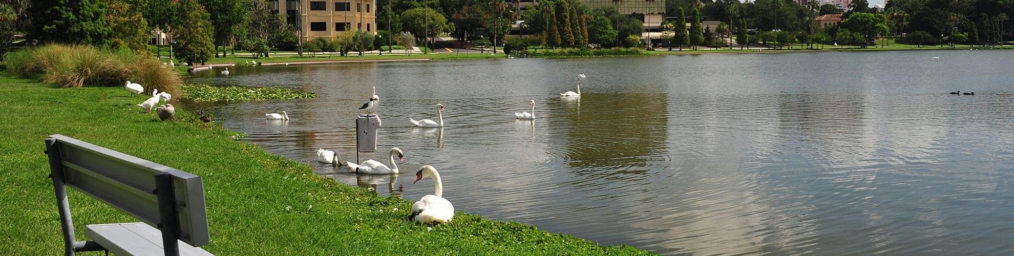 Swans gathering at Lake Morton