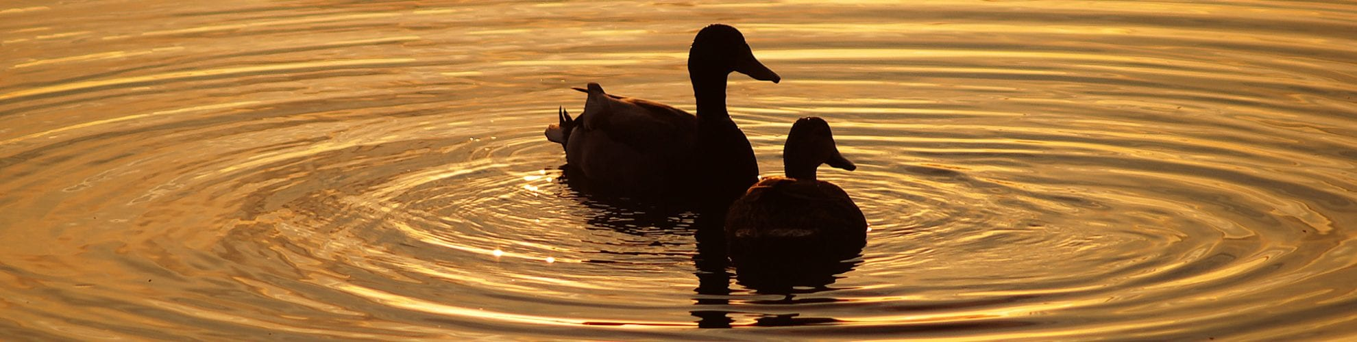 Two ducks swimming beside each other at sundown